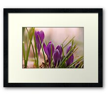 Crocus from a bugs point of view Framed Print