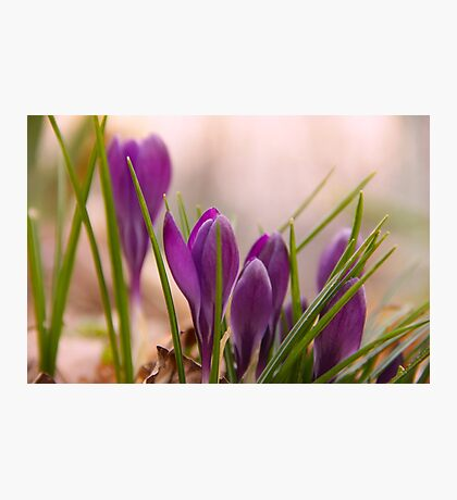 Crocus from a bugs point of view Photographic Print