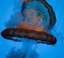Volcano Jellyfish by Ren Provo