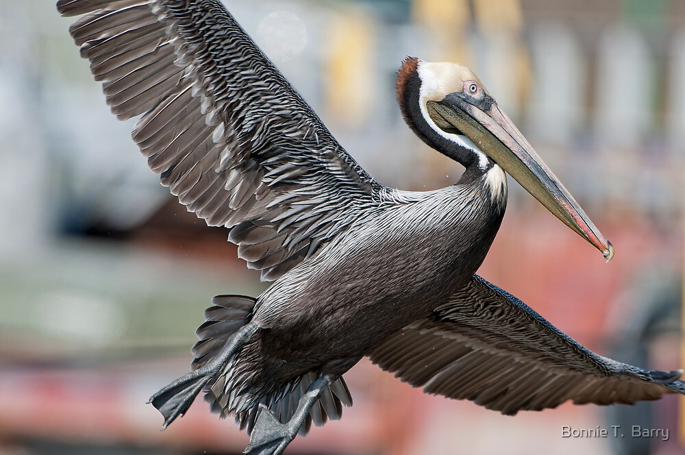 Brown Pelican Landing by Bonnie T.  Barry