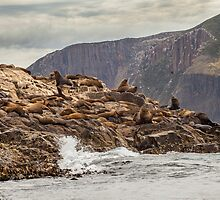 Fur Seals by Ron Finkel