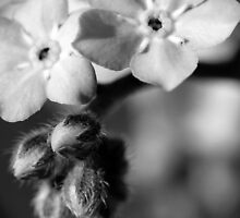Forget-Me-Nots 6 B&W by photonista