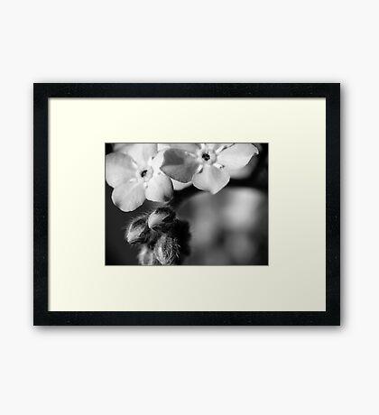 Forget-Me-Nots 6 B&W Framed Print