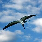 SWALLOW-TAILED KITE IN FLIGHT by TomBaumker