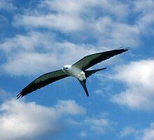 SWALLOW-TAILED KITE IN FLIGHT by TomBaumker
