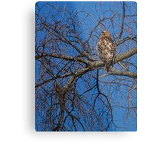 Adult Red-tailed Hawk Metal Print