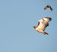 Red-tailed Hawk vs. American Kestrel  by Kimberly Chadwick