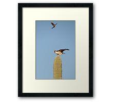 Red-tailed Hawk vs. American Kestrel II Framed Print