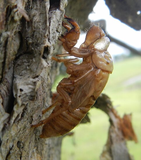 Cicada shell. by Elisabeth Thorn