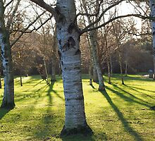 Birch tree shadows by Richard Youell