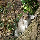 Grey Squirrel by bratpyle