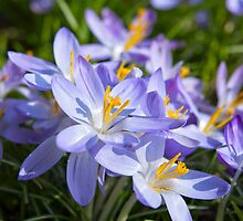 Crocus Flowers by Vac1