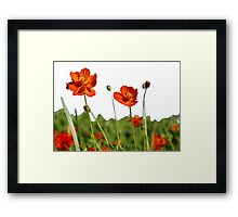 Red Cosmos Flower In A Meadow Isolated on White Framed Print