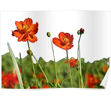 Red Cosmos Flower In A Meadow Isolated on White Poster