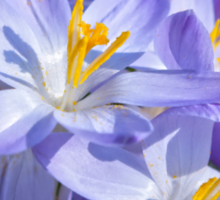 Crocus Flowers Sticker