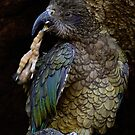 The New Zealand Kea by Robyn Carter