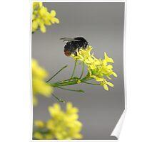Little Bumblebee Poster