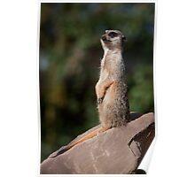 Meerkat on Watch Poster