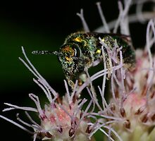 Sweat Bee on Joe-Pye-weed by Kane Slater