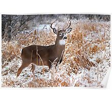 A Regal Stance - White-tailed Buck Poster