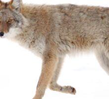 Coyote 2 Sticker