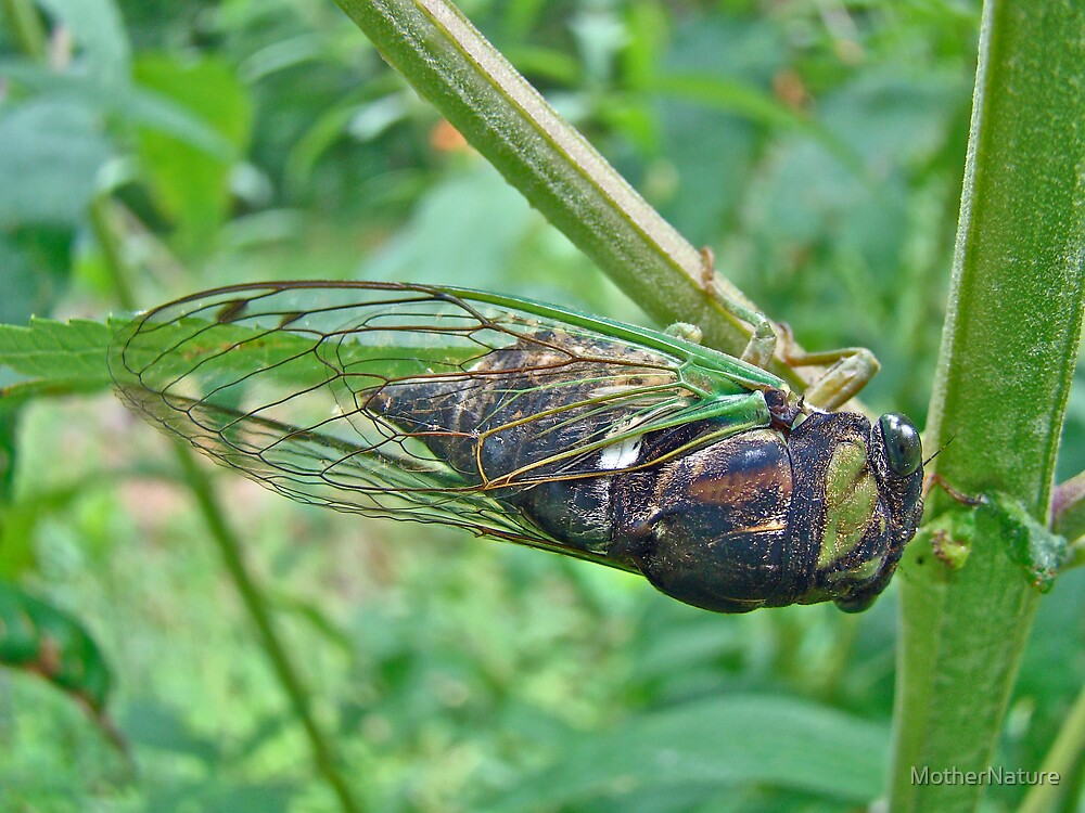 Annual Cicada - Green Bug With Sticky Feet by MotherNature
