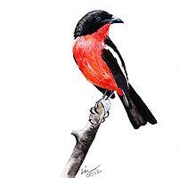 Crimsonbreasted Shrike / Laniarius atrococcineus by marietjie