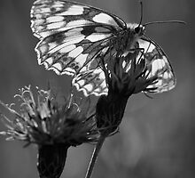 Marbled White by Berwick