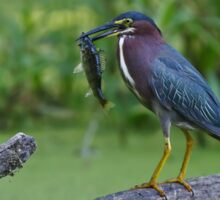 Green Heron wins local fishing contest! Sticker