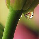 Water Drop on Lily by Lynn Gedeon