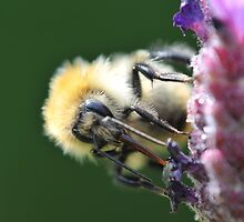 Common Carder Bee 2 by Berwick