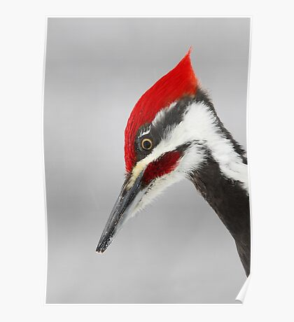 Pileated Woodpecker Portrait Poster