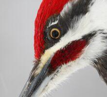 Pileated Woodpecker Portrait Sticker