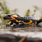 Fire salamander by Csar Torres