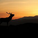 Stag at sunset by Macrae images