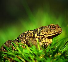 Common toad by Macrae images