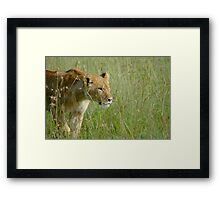 Kenya, Masai Mara, Lioness in the grass Framed Print