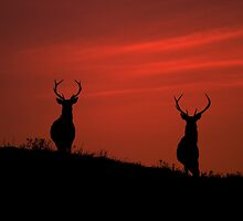 Red deer dawn by Macrae images