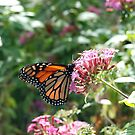 Monarch Butterfly feeding. by John Morrison