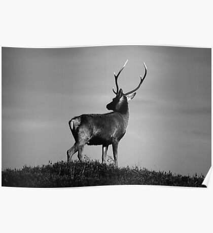 Black and white stag Poster