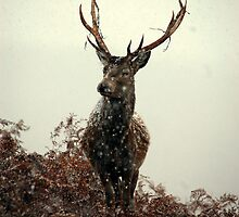Stag in a blizzard by Macrae images