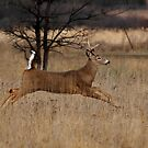 Grass Hopper - White-tailed Deer by Jim Cumming
