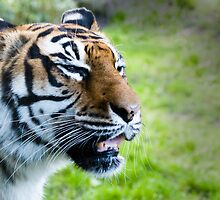 Snarling tiger by Norma Cornes