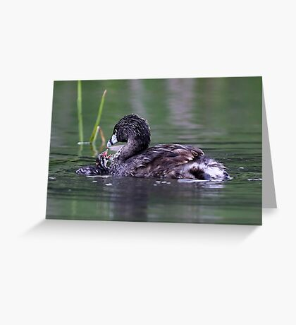 Please Sir, I want some more - Pied-billed Grebes Greeting Card