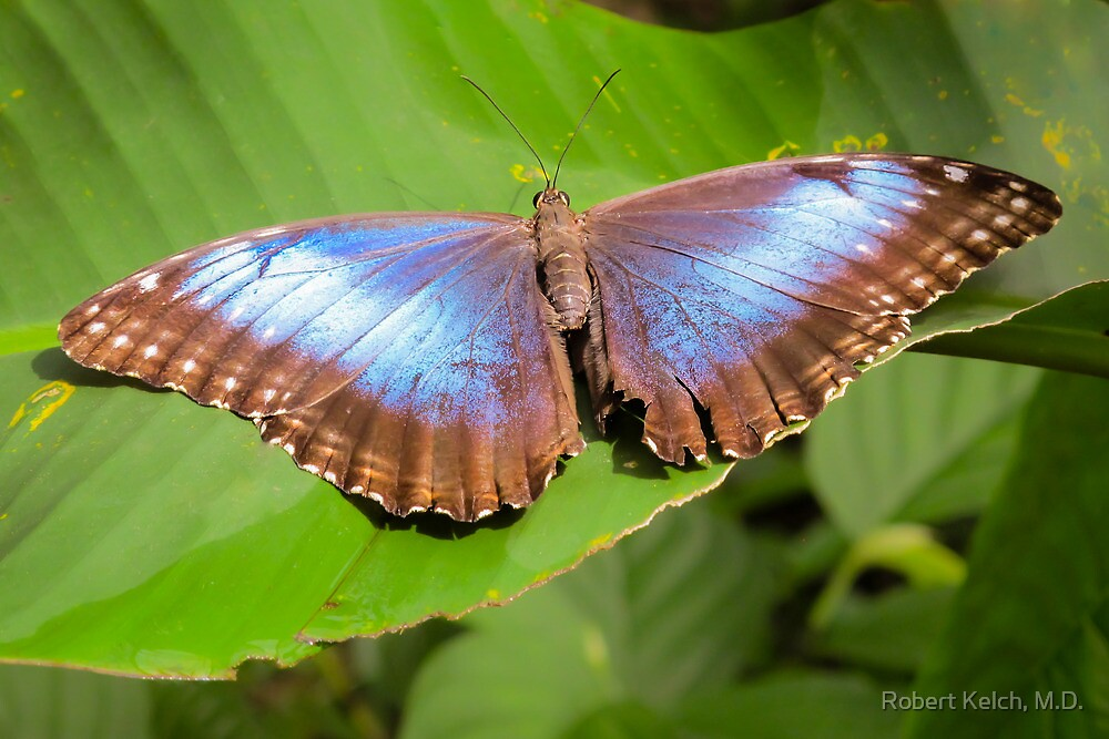 Blue Morpho in Costa Rica by Robert Kelch, M.D.
