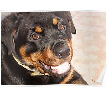 Portrait Of A Gentle Faced Female Rottweiler  Poster