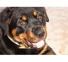 Portrait Of A Gentle Faced Female Rottweiler  Photographic Print