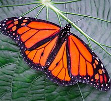 Monarch in Costa Rica by Robert Kelch, M.D.