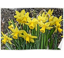 Golden Daffodils Poster