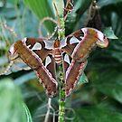 The Atlas Moth by gharris